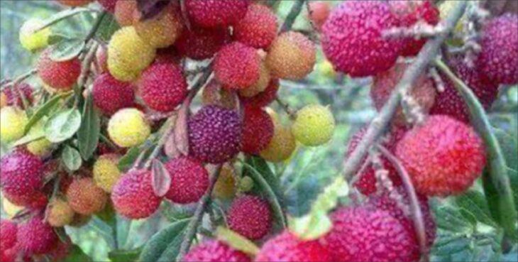 kafal : काफल पहाड़ी फलों का राजा पहुचाये कई रोगों में लाभ