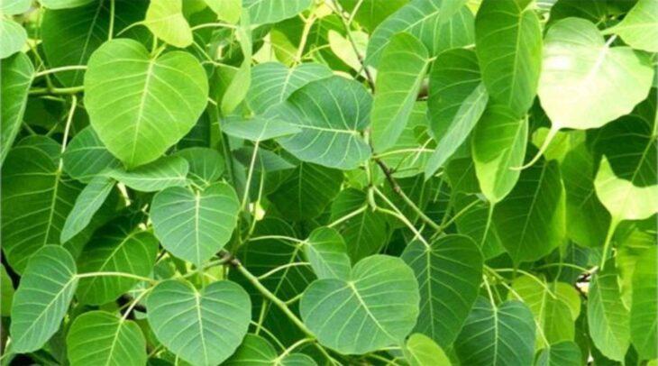 Ficus religiosa :ऑक्सीजन का natural plant पीपल