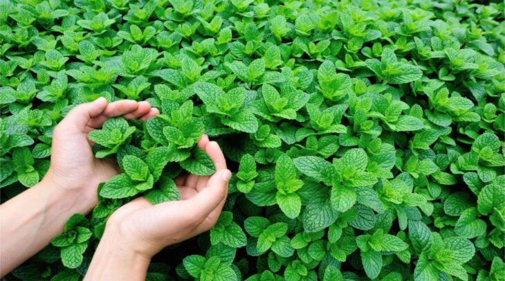 Mint Natural Medicine